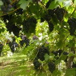 Activité Dijon : Peurs sur la vigne