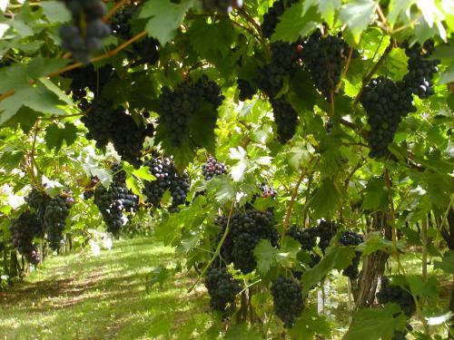 Activité Dijon : Peurs sur la vigne 2012